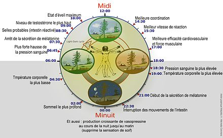 440px-biological_clock_humannycthc3a9mc3a9ralfrenchversion